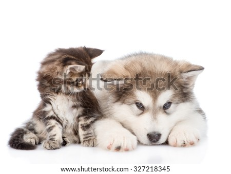 small maine coon cat looking  looking at a alaskan malamute dog. isolated on white background - stock photo