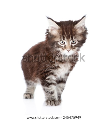 small maine coon cat standing in front. isolated on white background - stock photo