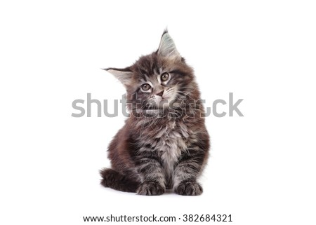 small Maine Coon kitten sitting on white background - stock photo