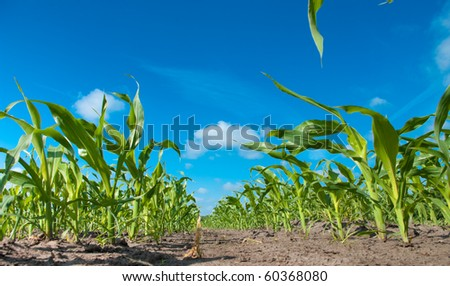 small maize plant - stock photo