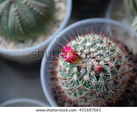 Small mammillaria heeriana cactus blooming among succulents on the windowsill - stock photo