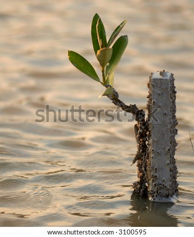 Small Mangrove tree - stock photo