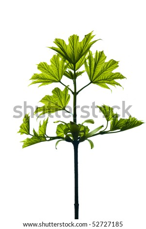 Small maple leaf isolated on white