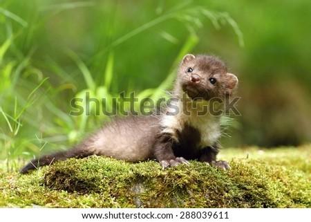 Small marten - stock photo