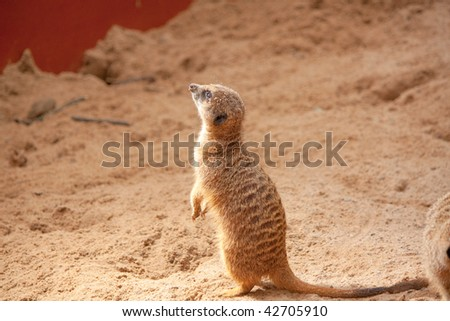 Small meerkat standing and looking