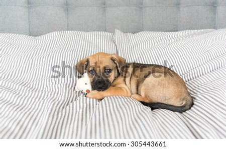 Small Mixed Breed Brown and Black Puppy Relaxing on Human Bed - stock photo