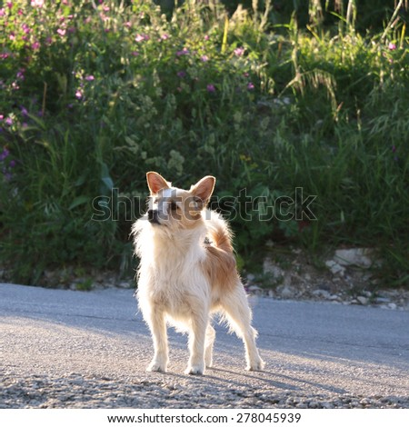 Small mixed breed dog outdoor, going for a walk without a leash. Illuminated by sunset light. Selective focus, instagram style photo.  - stock photo
