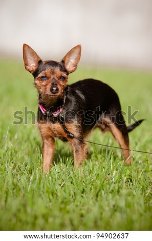 small mixed breed dog outdoors - stock photo