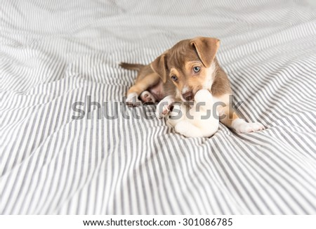 Small Mixed Breed Puppy Playing with Teddy Bear  - stock photo