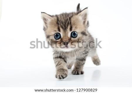 Small 1 month old Scottish straight kitten walking towards. Studio shot. - stock photo
