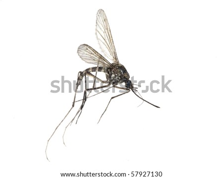 small mosquito isolated on white background - stock photo