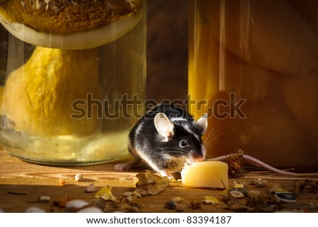 Small mouse eating cheese in larder - stock photo