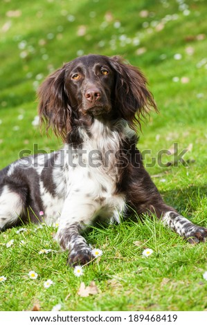 Small munsterlander dog in a meadow