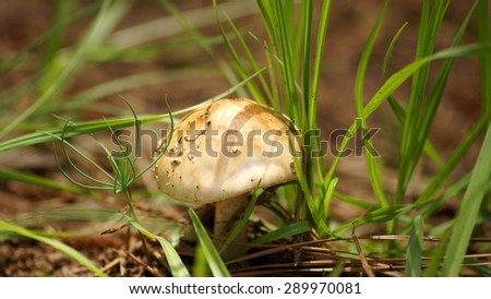 Small mushroom in the forest.