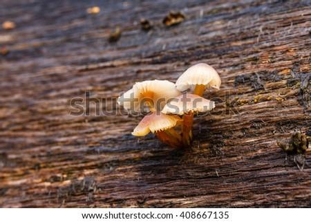 Small mushrooms gender Mycenae on fallen log. - stock photo