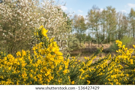 Small nature area with yellow blossoming Common Broom or Cytisus scoparius in the foreground. - stock photo