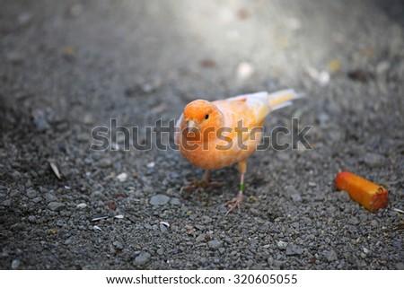 Small orange finch  - stock photo