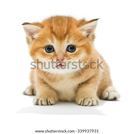 Small orange kitten of the British breed, isolated on white