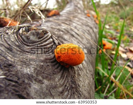 Small Orange Polyporus on fallen tree - stock photo