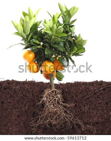 small orange tree isolated on white with root in dirt - stock photo