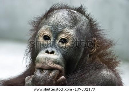 Small orangutan licking the fingers (Pongo pygmaeus) - stock photo