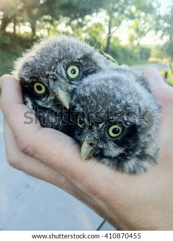 small owls with big eyes fallen from the nest of the mother - stock photo