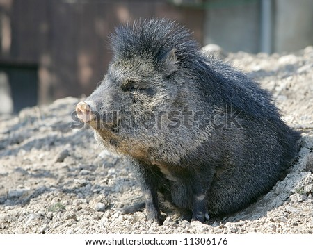 small peccary emerging from a hole