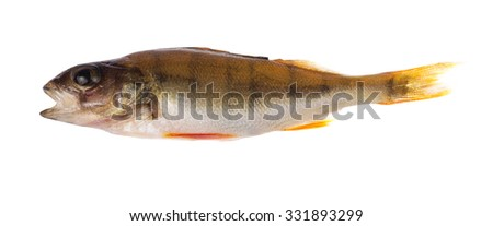 small perch isolated on white background - stock photo