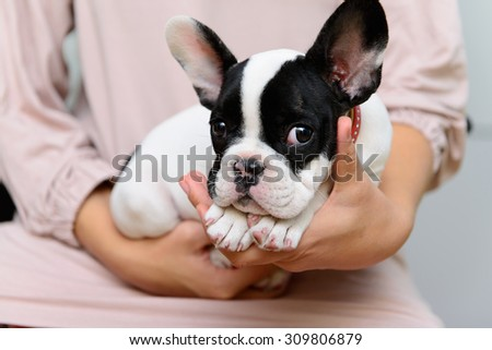 small pet a French Bulldog puppy lying on human hands - stock photo