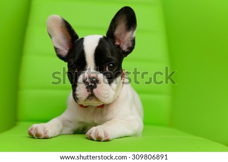 small pet a French Bulldog puppy on a green background