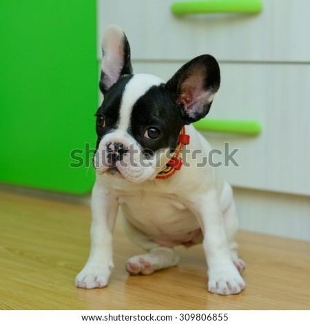 small pet a French Bulldog puppy play at home - stock photo