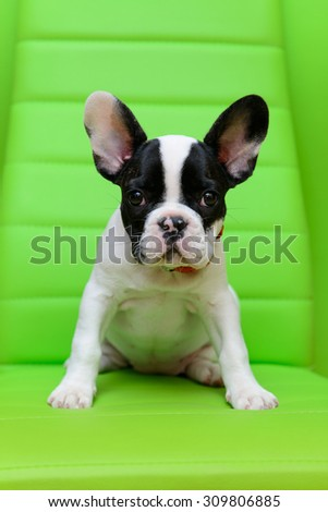 small pet a French Bulldog puppy sitting on a green background - stock photo