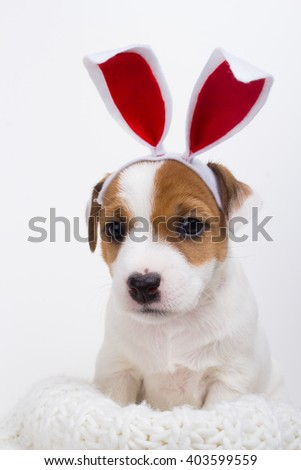 Small pet dog with rabbit ears. Easter style costume background - stock photo