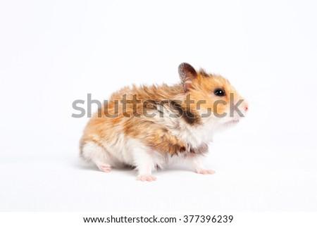 small pet hamster walks - stock photo