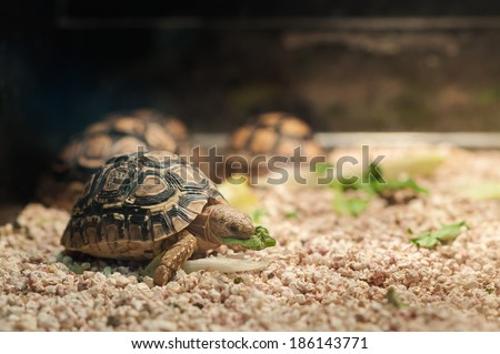 Small pet tortoise eating lettuce in a pet shop tank - stock photo