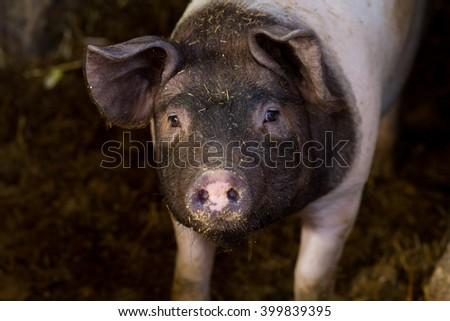 small pig in farm, black head - stock photo