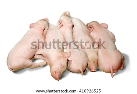 Small piglets sleeping on a white background. - stock photo