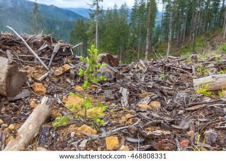 Small pine tree grows in spring forest. Around chopping wood. Toger Mountain, Washington State
