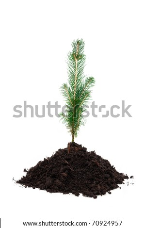 Small pine tree in soil, over a white background - stock photo