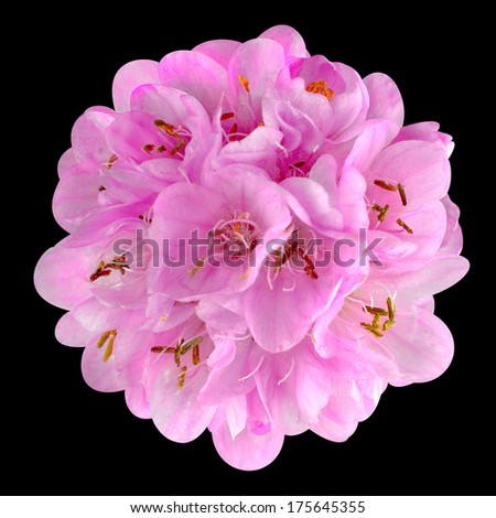 Small Pink Flower - Ball Dombeya Isolated on Black Background - stock photo