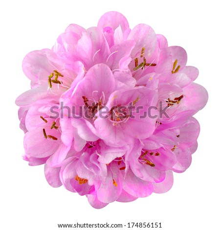 Small Pink Flower - Ball Dombeya Isolated on White Background - stock photo