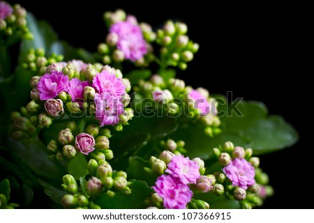 small pink flowers on black background - stock photo