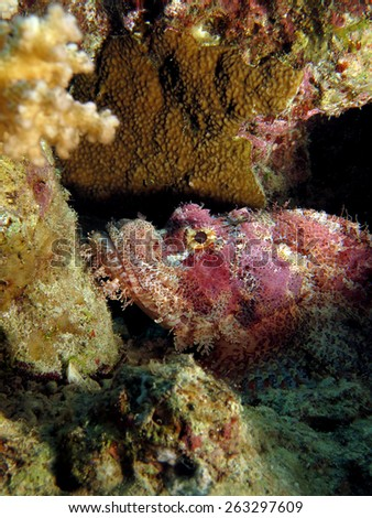 Small pink scorpionfish on coral reef - stock photo