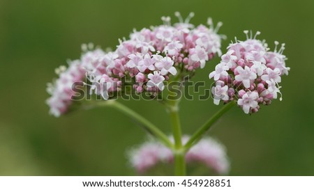 Small Pink Wild Meadow Flowers - stock photo