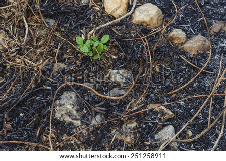 Small plant growing on the ash after grass burn