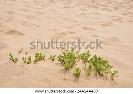 small plants in the sand dunes  - stock photo