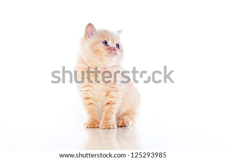small plush red kitten of exotic breed on a white background