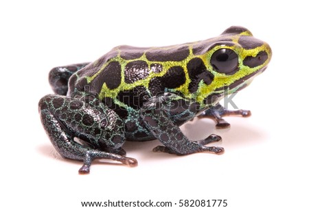 Small poison dart or arrow frog, Ranitomeya variabilis. Macro of a beautiful rain forest animal from the Amazon jungle of Peru. Isolated on a white background.