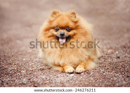Small Pomeranian dog lying on the ground
