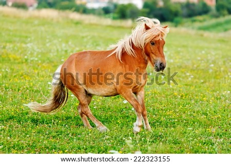 Small pony horse on the field (Equus ferus caballus) - stock photo